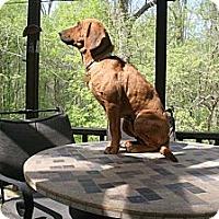 Adopt A Pet :: HALF PINT SEBR - Georgetown, KY