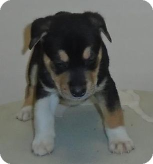 Beagle Mix Puppy for adoption in Gary, Indiana - Leo