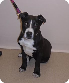 Pit Bull Terrier Mix Puppy for adoption in Gary, Indiana - Foster