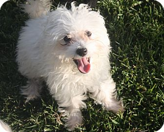 Poodle (Miniature)/Maltese Mix Puppy for adoption in Henderson, Nevada - Taffy