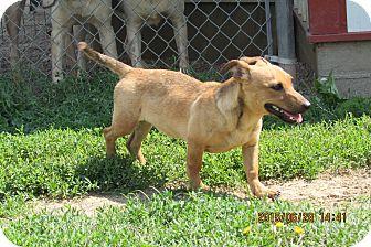 Dachshund Mix Dog for adoption in Walthill, Nebraska - Shortcake