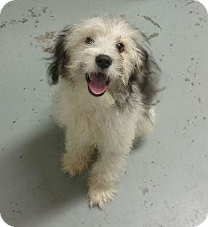 Havanese Mix Dog for adoption in Greenville, Kentucky - Toby