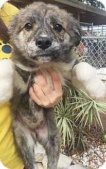 Husky Mix Puppy for adoption in Boca Raton, Florida - Aimee