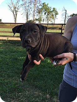 American Pit Bull Terrier Mix Puppy for adoption in Lincoln, California - PUPPY - Panda!!