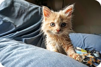 Domestic Longhair Kitten for adoption in Manitowoc, Wisconsin - Billy