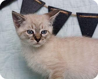 Siamese Kitten for adoption in Mayflower, Arkansas - Oliver