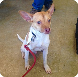 Basenji/French Bulldog Mix Puppy for adoption in Pompton Lakes, New Jersey - Taco