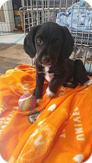 Beagle Mix Puppy for adoption in Spring Valley, New York - Storm (RBF)