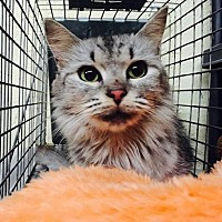 Domestic Longhair Cat for adoption in Maryville, Tennessee - Moon