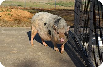 Pig (Potbellied) for adoption in Muldrow, Oklahoma - Gip