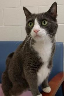 Domestic Shorthair/Domestic Shorthair Mix Cat for adoption in Evansville, Indiana - Martini