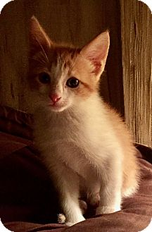 Domestic Shorthair Kitten for adoption in Elberton, Georgia - Hendrix