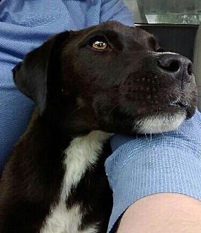 Labrador Retriever Mix Puppy for adoption in Bartlett, Tennessee - Petey