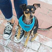 Adopt A Pet :: Andy - Fullerton, CA