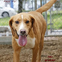 Adopt A Pet :: Chili - Camden, DE