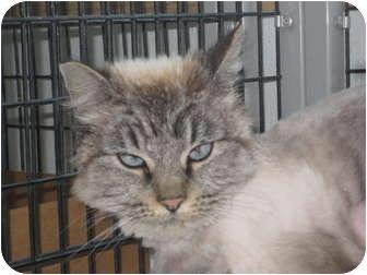 Siamese Cat for adoption in Rock Springs, Wyoming - Bogus