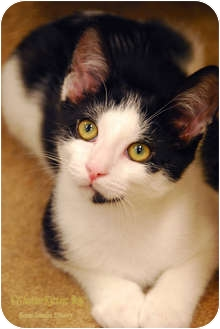 Domestic Shorthair Kitten for adoption in Encinitas, California - Mario