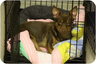 Chihuahua/Miniature Pinscher Mix Dog for adoption in conyers, Georgia - JoJo