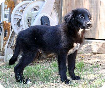 Labrador Retriever/Newfoundland Mix Puppy for adoption in Litchfield, Connecticut - Benny