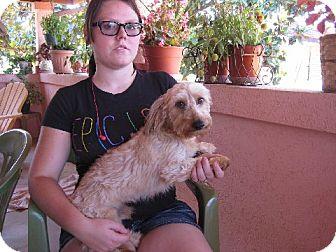 Dachshund Dog for adoption in Greenville, Rhode Island - Bocephus Willeford