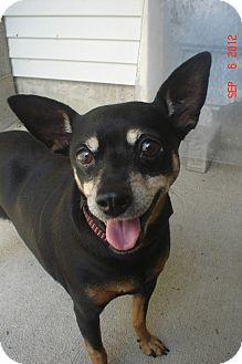 Miniature Pinscher Mix Dog for adoption in Lake Odessa, Michigan - Ms. Kitty