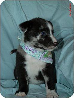 Australian Shepherd/Catahoula Leopard Dog Mix Puppy for adoption in Cranford, New Jersey - SMORES