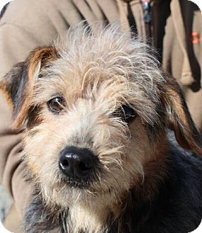 Terrier (Unknown Type, Small) Mix Dog for adoption in Plainfield, Connecticut - Jasper