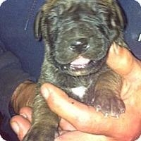 Adopt A Pet :: ScoobyDoos - batlett, IL