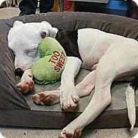 Adopt A Pet :: Snoop Carryon Lion - Reisterstown, MD