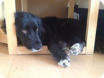Border Collie/Spaniel (Unknown Type) Mix Dog for adoption in Saskatoon, Saskatchewan - Salsa