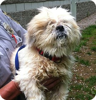 Lhasa Apso Mix Dog for adoption in Bloomfield, Connecticut - Jig
