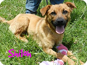 Chow Chow Mix Dog for adoption in Lawrenceburg, Tennessee - Shiloh