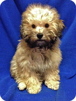 Poodle (Miniature)/Lhasa Apso Mix Puppy for adoption in Encino, California - Valentino