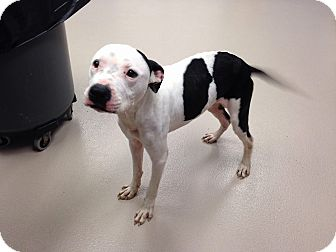 Pit Bull Terrier Mix Dog for adoption in Southampton, Pennsylvania - Montana