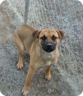 Shepherd (Unknown Type)/Great Dane Mix Dog for adoption in Silver City, New Mexico - Lady