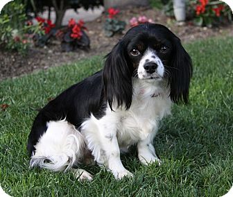 Cavalier King Charles Spaniel Mix Dog for adoption in Newport Beach, California - PARIS