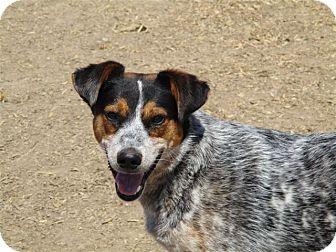 Australian Cattle Dog/Australian Shepherd Mix Dog for adoption in Liberty Center, Ohio - Tex