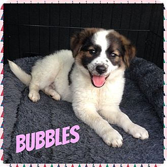 Australian Shepherd Mix Puppy for adoption in Newnan, Georgia - Bubbles