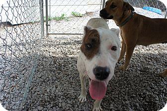 Hound (Unknown Type)/Labrador Retriever Mix Dog for adoption in Henderson, North Carolina - Tamara