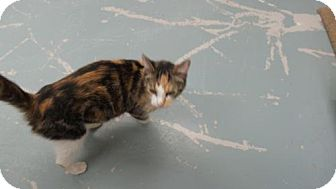 Calico Cat for adoption in Crown Point, Indiana - Chula