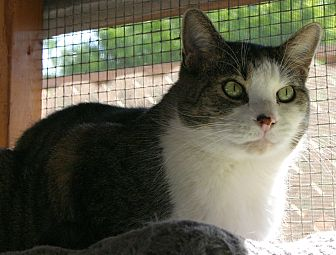 Domestic Shorthair Cat for adoption in Sherman Oaks, California - Denny