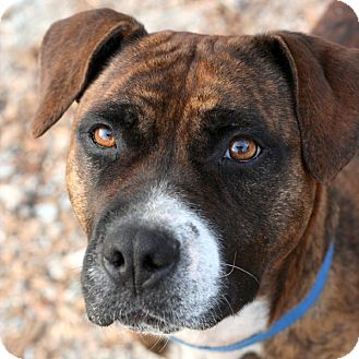 Boxer Mix Dog for adoption in McCormick, South Carolina - Tristy