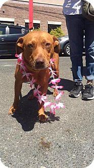 Labrador Retriever Mix Dog for adoption in Cliffside Park, New Jersey - VANNA