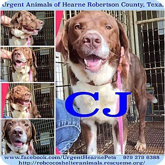 Border Collie Mix Dog for adoption in Hearne, Texas - CJ