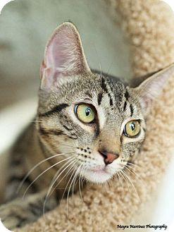 Bengal Kitten for adoption in Huntsville, Alabama - Lagniappe