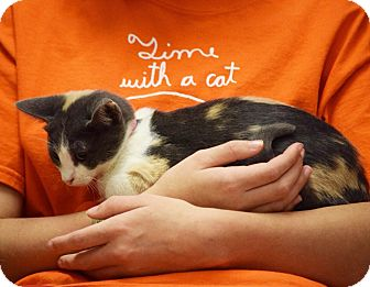 Domestic Shorthair Kitten for adoption in Dallas, Texas - Sweet Pea