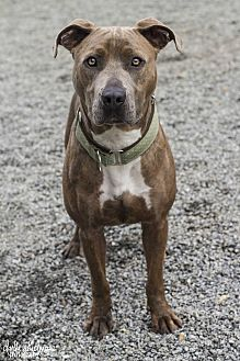 American Staffordshire Terrier/Mountain Cur Mix Dog for adoption in Charlotte, North Carolina - Thelma