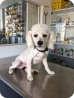 Poodle (Miniature) Dog for adoption in BONITA, California - Aspen