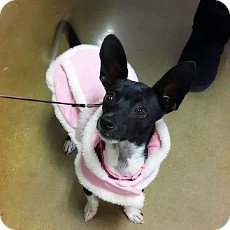 Chihuahua/Rat Terrier Mix Dog for adoption in Shallotte, North Carolina - Lucy