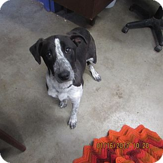Australian Cattle Dog/Border Collie Mix Dog for adoption in BLACKWELL, Oklahoma - Milly